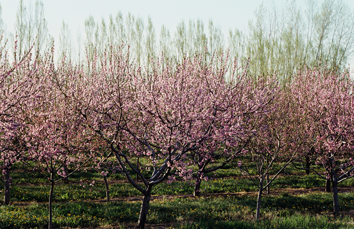 Image of orchard rows with pink flowering trees